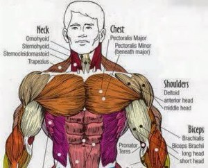 upper chest muscles - nathan